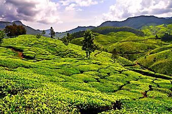 Чайные плантации. (Код изображения: 19006)