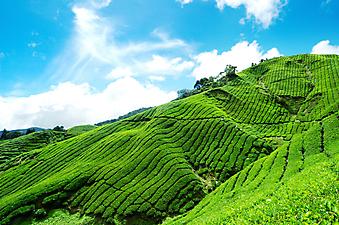Чайные плантации. (Код изображения: 19009)