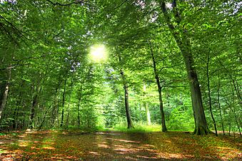 Раннее утро в лесу. (Код изображения: 19010)