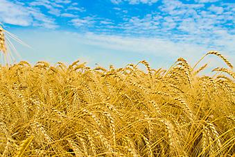 Золотое пшеничное поле. (Код изображения: 19018)