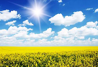 Желтое поле. (Код изображения: 19026)