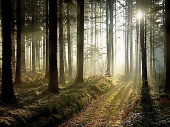 Лес в сумерках. (Код изображения: 19030)