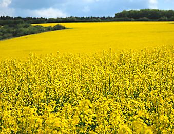 Желтое поле. (Код изображения: 19032)