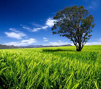 Дерево в поле. (Код изображения: 19036)
