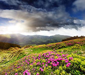 Розовые цветы в горах. (Код изображения: 19037)