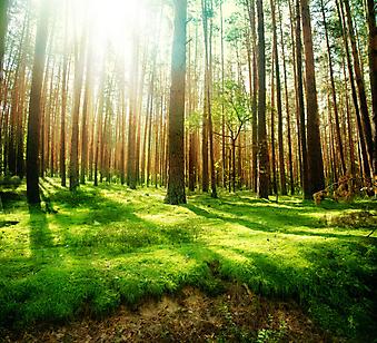 Старый лес. (Код изображения: 19041)