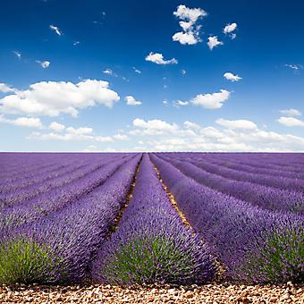 Фиолетовое поле. (Код изображения: 19047)