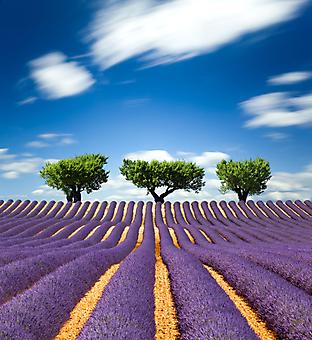 Фиолетовое поле. (Код изображения: 19053)