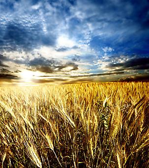Пшеничное поле. (Код изображения: 19055)