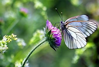 Белая бабочка на цветке (Каталог номер: 19064)