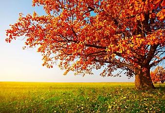 Осенний дуб (Каталог номер: 19066)