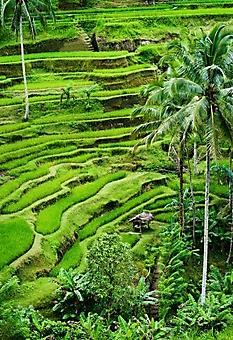 Рисовые террасы, Бали (Каталог номер: 19077)