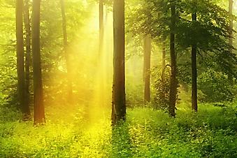 Солнце в лесу (Каталог номер: 19092)