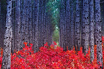 Красный осенний лес, Крым (Каталог номер: 19103)