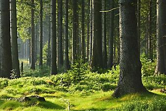 Безмятежный лесной пейзаж (Каталог номер: 19107)