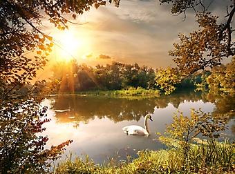 Лебедь на тихом пруду (Каталог номер: 19113)