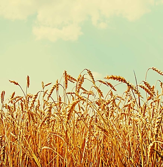 Пшеничное поле (Каталог номер: 19123)