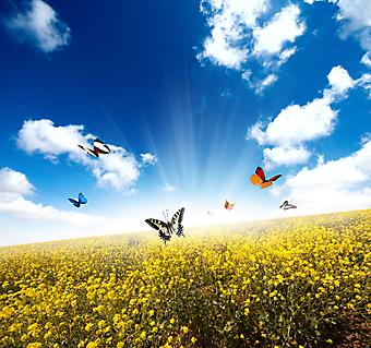 Желтое поле с бабочкой. (Код изображения: 21041)