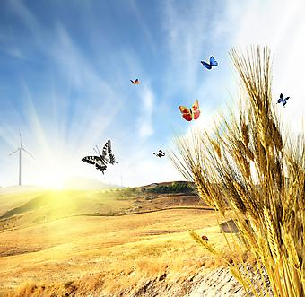 Пшеница. (Код изображения: 21043)