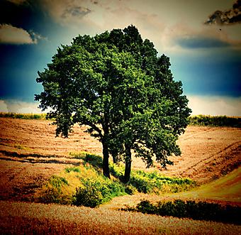 Огромное дерево в поле. (Код изображения: 21044)
