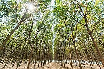 Дорожки между каучуковыми деревьями (Каталог номер: 06047)