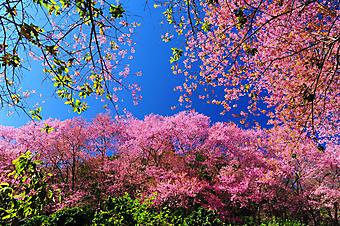 Цветение вишни. (Код изображения: 12004)