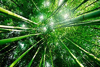 Бамбуковый лес. (Код изображения: 12010)