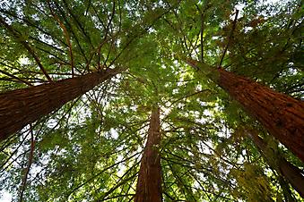 Кроны деревьев (Каталог номер: 12060)