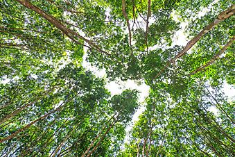 Каучуковые деревья (Каталог номер: 12086)
