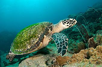 Морская черепаха. (Код изображения  07002)