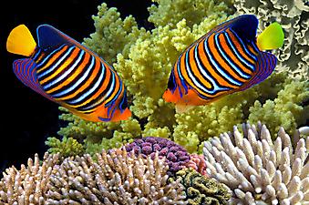 Рыба-ангел, Красное море. (Код изображения 07003)