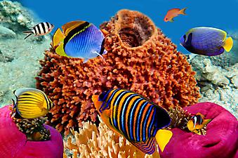 Рыба-ангел, Красное море. (Код изображения 07011)