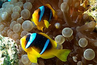 Рыба клоун. (Код изображения 07019)