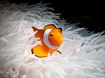 Оранжевавая рыбка. (Код изображения 07025)