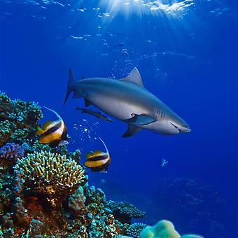 Акула на коралловом рифе (Каталог номер: 07038)