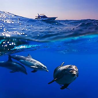 Дельфины у лодки дайверов (Каталог номер: 07042)