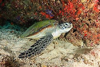 Зеленая черепаха (Каталог номер: 07051)