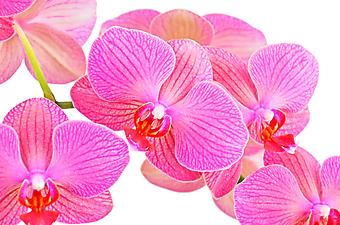 Розовый цветок орхидеи. (Код изображения: 09003)