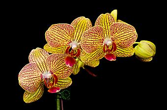 Орхидеи. (Код изображения: 09004)