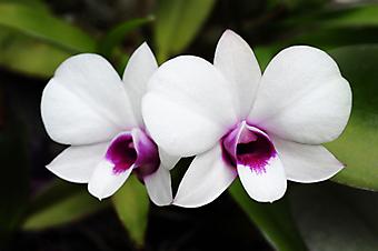 Дикая орхидея. (Код изображения:  09015)