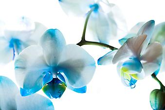 Голубая орхидея. (Код изображения: 09016)