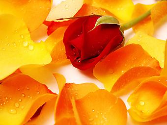 Красная роза. (Код изображения: 09042)