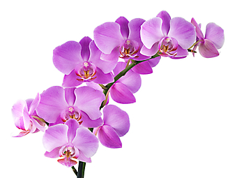 Розовые орхидеи. (Код изображения: 09045)