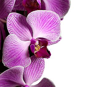 Фиолетовый цветок орхидеи. (Код изображения: 09056)