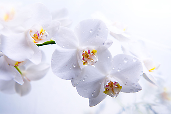 Белые орхидеи на белом фоне  (Код изображения: 09100)