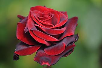 Бутон красной розы. (Код изображения: 09112)
