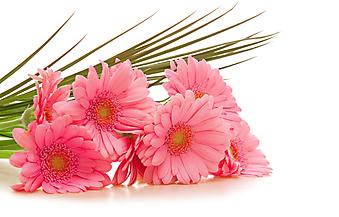 Букет из розовых гербер. (Код изображения: 09118)
