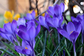 Темно синие крокусы. (Код изображения: 09141)