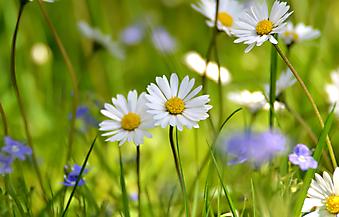 Полевые цветы. (Код изображения: 09150)