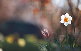 Цветок нарцисса. (Код изображения: 09168)
